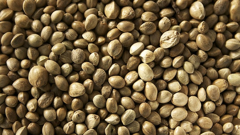 konopljina semena